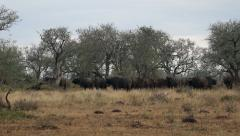 Lion runs at buffalo herd Stock Footage