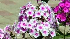 Lush and tender phlox Stock Footage