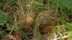 Champignon mushroom below grass, static shot, sunlight illuminated Stock Footage