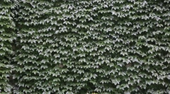 Stock Video Footage of Stone walls covered in ivy at Thames Town in Shanghai, China