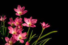 Closeup of pale pink amaryllis flower on black background with  big blossoms. Stock Photos