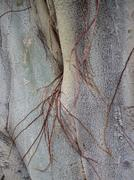 Close up texture of Asian Bodhi Tree with Tendrils growing along surface Stock Photos