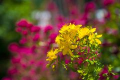 Yellow blossom of wild Saint John's wort  on a blurred background - stock photo