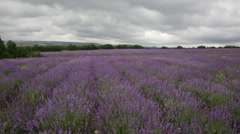 Big field of the blossoming lavender in cloudy day Stock Footage