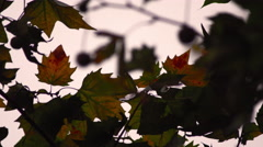 Refocusing on maple leaves close-up Stock Footage