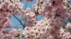 Cherry blossom in pink coloures Stock Footage