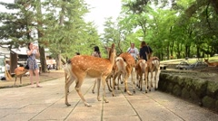 Deers at Todai-ji Temple at Nara located in the Kansai region of Japan. Stock Footage