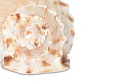 Seashell isolated on white background Stock Photos