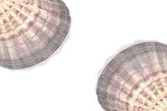 Seashell Lyropecten nodosus Stock Photos