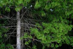 branches and trunks of cedar - stock photo