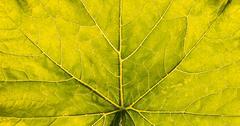 Illuminated big leaf veins closeup Stock Photos