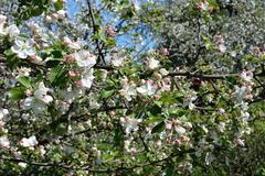 Blooming apple tree Stock Photos