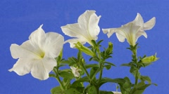 Petunia White Funnel-Shaped Flowers Petals Joined Together Green Stalk and - stock footage