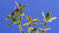 Branches With Foliage Rock on a Blue background money tree plant leaves mascot - stock footage