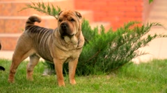 Graceful Shar Pei Wagging Tail At The Lawn - stock footage