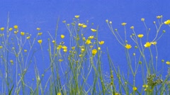 Field Yellow Flowers, Small Flowers, Green Grass, Branches, Stalks, chromakey - stock footage