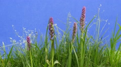 Field Flowers, Lilac Inflorescence, Small White Flowers, Green Grass, chromakey, - stock footage
