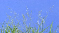 Apera, Green Grass, Blades, Branches, Stalks, Leaves, Plants Swaying chromakey - stock footage