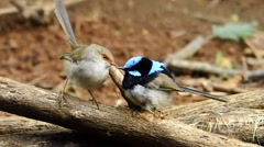 Australian Birds - Fairy Wrens Stock Footage