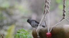 Small bird enjoying a birdbath. Filmed in Tasmania, Australia. Stock Footage
