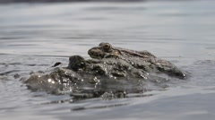 River frog sitting near the water, reptile, macro, 4k Stock Footage