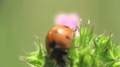 Beetle ladybug sits in flower leaf, macro, 4k Stock Footage