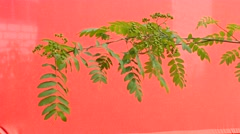 Rowan-tree, branch of rowan with green leaves on The Red Background, Chromakey, - stock footage