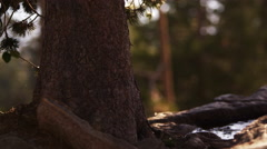 Close-up shot of a pine tree trunk near Lake Tahoe, California. Stock Footage