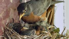 Momma Robin Cleans Nest Energetically While Babies Try to Sleep Stock Footage