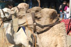 Close up of camel used for joyrides at Festival Stock Photos