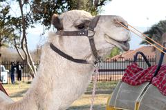 Close up of camel face used for joyrides at  Festival Stock Photos
