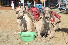Camels resting used for joyrides at Festival Stock Photos