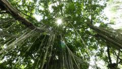 Look up from under beautiful banyan tree crown hanging roots Stock Footage