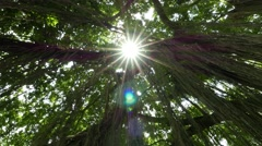 Sun star shine through dense banyan crown, branches and hanging roots Stock Footage