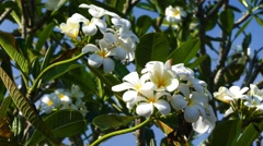 Branches of flowering white plumeria 4k Stock Footage