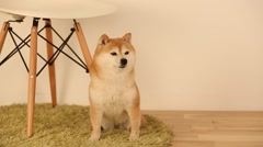 Shiba Inu in the living room Stock Footage
