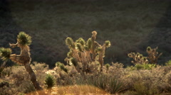 Landscape of joshua trees poking above desert brush during the day Stock Footage