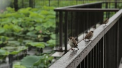 Sparrows under the rain in a city park, Tokyo, Japan Stock Footage