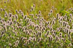 Stock Photo of Rabbitfoot clover Trifolium arvense by roadside inflorescence North