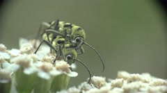 Two Beetle Rutpela maculata longhorn bug insect sitting on flower, macro, 4k Stock Footage