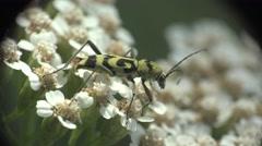 Beetle Rutpela maculata longhorn bug insect sitting on flower, macro, 4k Stock Footage