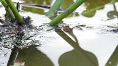 Damselfly lay egg into water Stock Footage