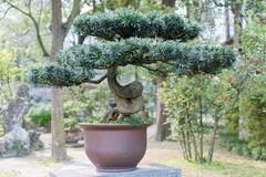 Bonsai in a Chengdu Park - stock photo