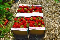 Strawberry in sunshine in farm Quebec Stock Photos