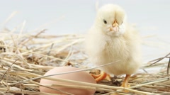 Little chicken and egg in the hay closeup Stock Footage