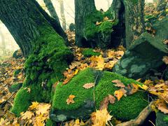 Big basalt mossy boulder in leaves forest covered with first colorful leaves  Stock Photos