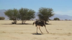 Ostrich at the Hai Bar National Biblical Wildlife Reserve Stock Footage