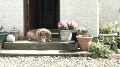 Dog on a doorstep Stock Footage