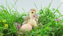 One little duckling sitting near egg and eating a stalk of grass Stock Footage