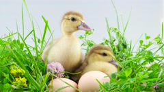 Two ducklings sitting in grass near eggs Stock Footage